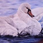 blue-swan
